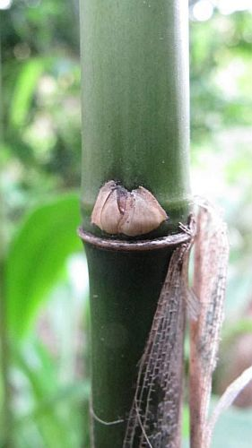 Fargesia yuanjiangensis bambú semillas
