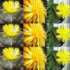 Faucaria species mix Tigerrachen verschiedene Arten Samen