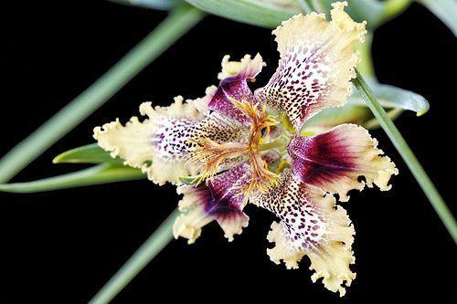 Ferraria densepunctulata  semillas