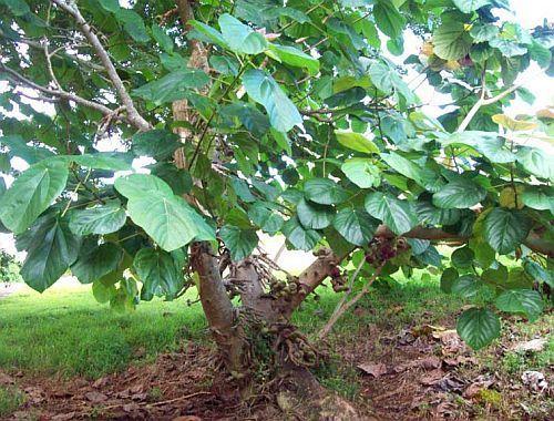 Ficus auriculata Ohrfeigenbaum Samen