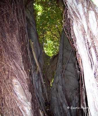 Ficus benghalensis Banyan Baum - Indischer Nationalbaum Samen