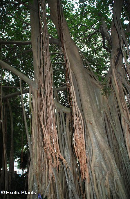 20 Samen Banyan-Baum Ficus benghalensis Bonsai
