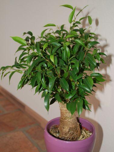 Ficus benjamina Birkenfeige Samen
