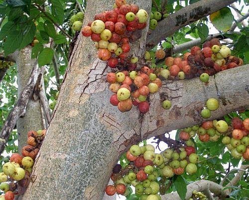 Ficus racemosa  Семена
