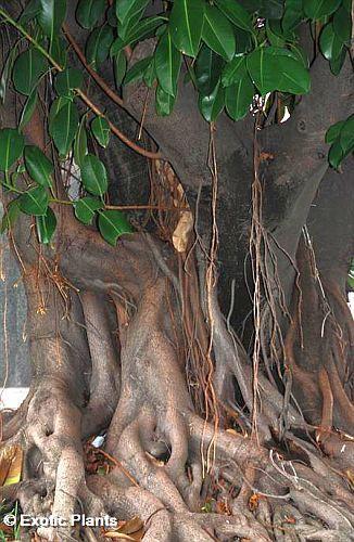 Ficus religiosa Buddhabaum - Pepulbaum Samen