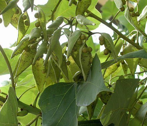 Firmiana simplex árbol parasol chino semillas