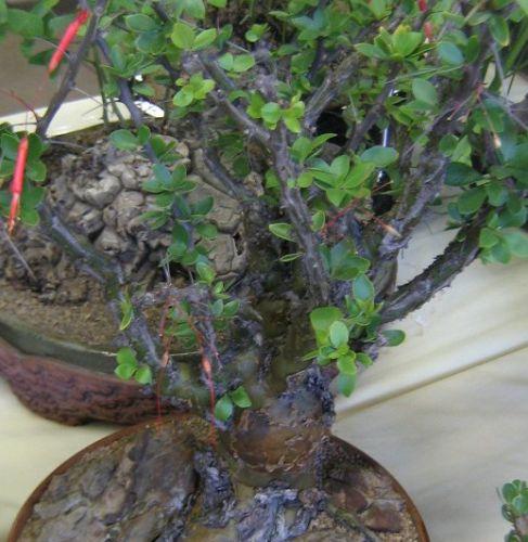 Fouquieria macdougalii Ocotillo Samen