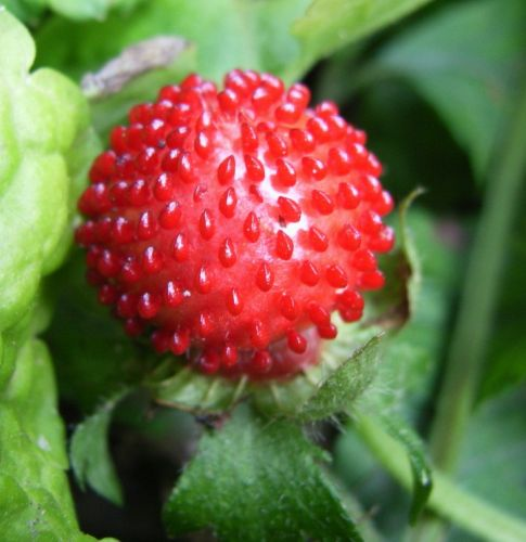 Fragaria indica Rote Walderdbeere Samen