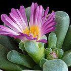 Frithia pulchra  cемян