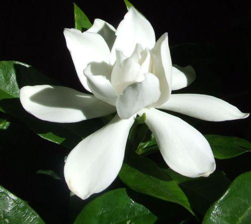 Gardenia jasminoides  semillas