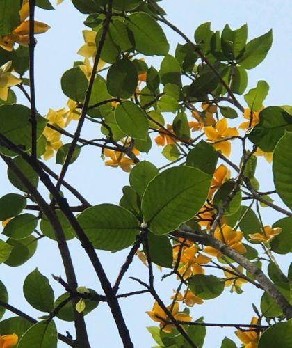 Gardenia sootepensis  semillas