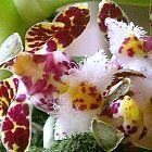 Gastrochilus bellinus  cемян