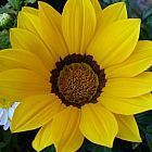 Gazania krebsiana high altitude terracotta gazania yellow seeds