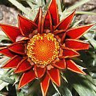 Gazania krebsiana red streak terracotta gazania red seeds