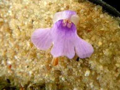 Genlisea hispidula plantas carnivoras semillas
