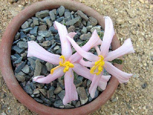 Gethyllis villosa Amaryllisgewächse Samen