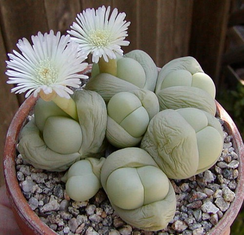 Gibbaeum album Aizoaceae Samen