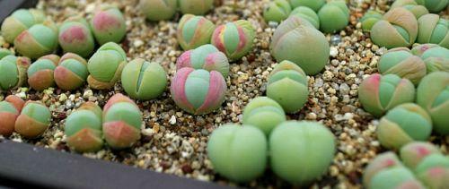 Gibbaeum comptonii  semillas