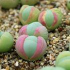 Gibbaeum comptonii  semi