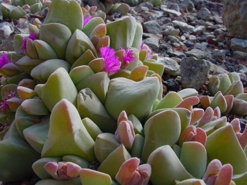 Gibbaeum haagei  semillas