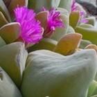 Gibbaeum haagei  cемян