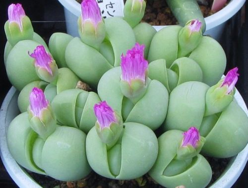 Gibbaeum haethii Mesembryanthemum Samen