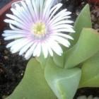Gibbaeum velutinum  cемян