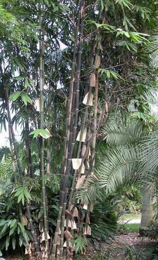Gigantochloa atroviolacea tropischer schwarzer Riesenbambus Samen