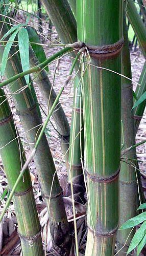 Gigantochloa longusvagina bambú gigante semillas