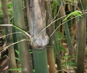 Gigantochloa macrostachya syn: Bambusa macrostachya Samen