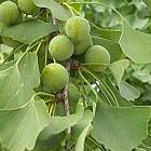Ginkgo biloba Gli alberi semi