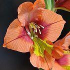 Gladiolus alatus Schwertlilie Samen