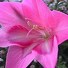 Gladiolus carmineus Schwertlilie Samen