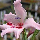 Gladiolus crispulatus