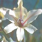 Gladiolus floribundus ssp floribundus Gladiole Samen