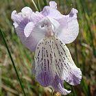 Gladiolus gracilis Gladiole Samen