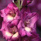 Gladiolus gueinzii Schwertlilie Samen