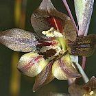 Gladiolus hyalinus Schwertlilie Samen
