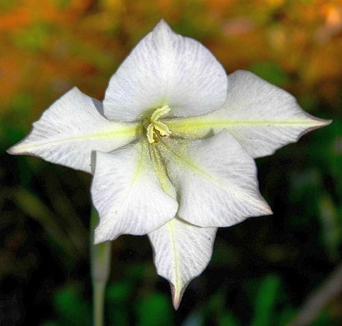 Gladiolus longicollis  Семена