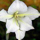 Gladiolus longicollis Schwertlilie Samen