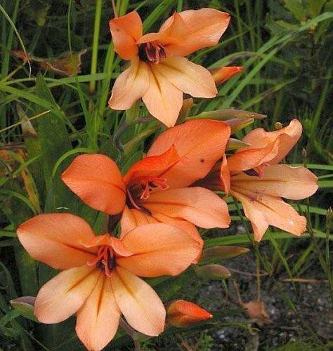 Gladiolus miniatus  Семена