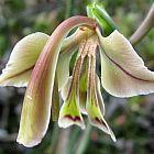 Gladiolus orchidiflorus  cемян