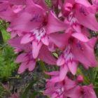 Gladiolus phoenix Gladiole Samen