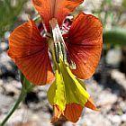 Gladiolus pulcherrimus  cемян