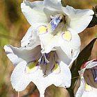 Gladiolus rudis Schwertlilie Samen
