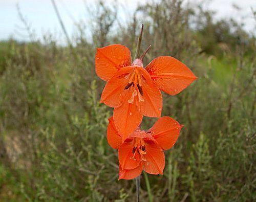 Gladiolus teretifolius  Семена