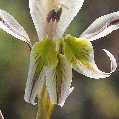 Gladiolus vinosomaculatus Schwertlilie Samen