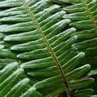 Gleichenia japonica gespaltener Farn Samen