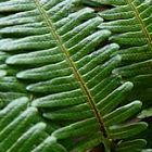 Gleichenia japonica helecho semillas