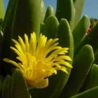 Glottiphyllum regium Mesemb Samen